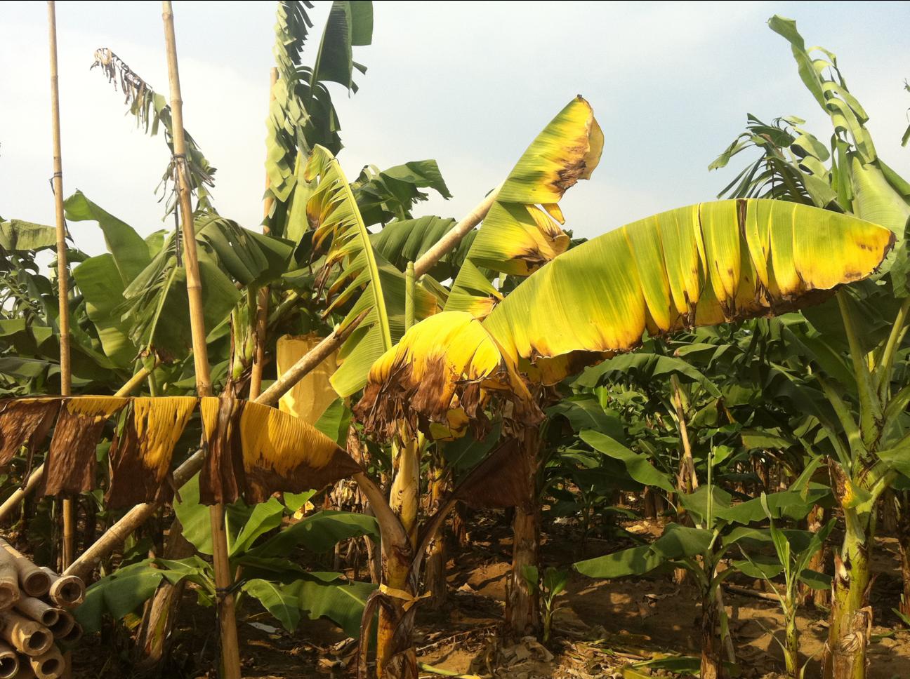 The banana blog